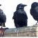 من حياة الغربان…