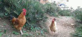 اكْتملَ الحبُّ حينَ صارَ الحَديثُ عنْ لِقاءِ الدَّجاجِ.