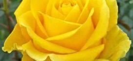 سَجعية الوردة الصّفراء